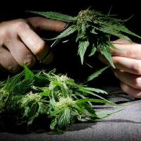 Cannabis cultivation insurance - photo of manual marijuana cultivation - Cannabis Insurance Company