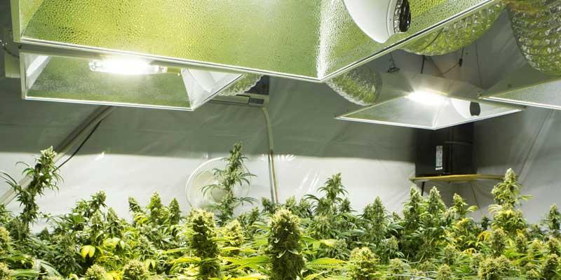 Cannabis plants and lost income - photo of marijuana cultivation and building