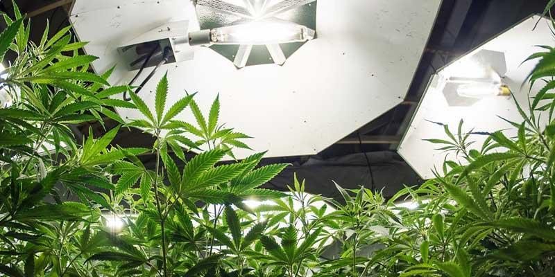 Custom cannabis insurance - photo of marijuana and lamps